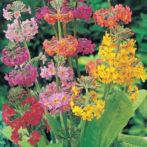 Primula Candelabra mix - approx 100 seeds